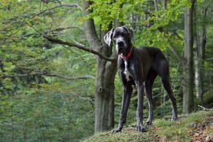 dogue allemand chien de garde
