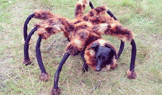 chien déguisé en araignée